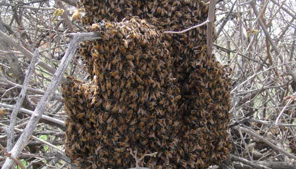 A large swarm of bees attached to a shrub
