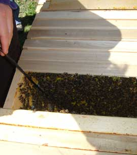 Looking inside a top bar hive with thousands of bees inside