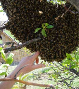 Bee swarm in a tree and the farmer putting her hand in it