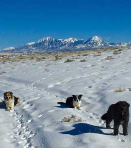 Three dogs in a snowfield with the snowy mountains behind