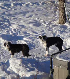 Two Border Collies in the snow