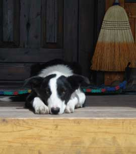 A young Border Collie watching from the porch steps
