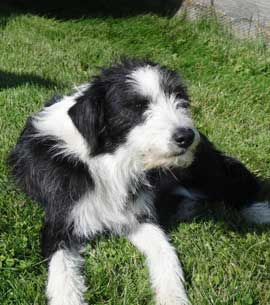 A scruffy Border Collie on the lawn