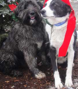 Two dogs dressed in their red Christmas bows