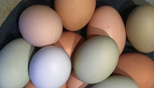 An array of multi-colored fresh organic eggs