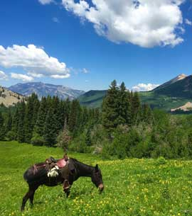 Mule grazing in the wildflowers of the Colorado mountains
