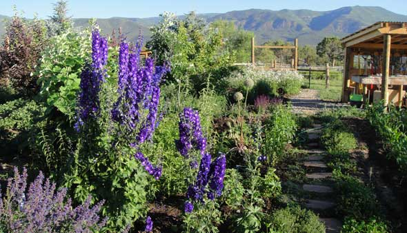 Delphiniums and catmint against a herbaceous backdrop in the perennial garden