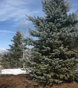 Spruce trees with exceptional growth