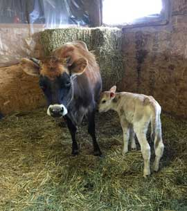 Jersey mom with calf in the barn