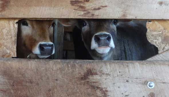 Two Jersey calves peering through the gate in their pen