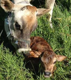 Jersey cow nuzzling her brand new calf in the green grass