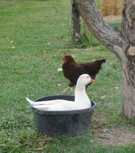 White goose bathing in a tub with a hen passing by