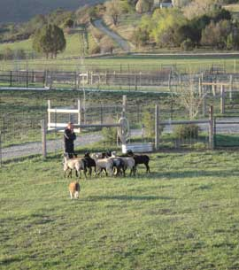 A Border Collie bringing the flock to his master